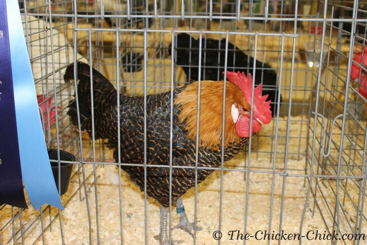 Large Fowl Golden Campine cockerel
