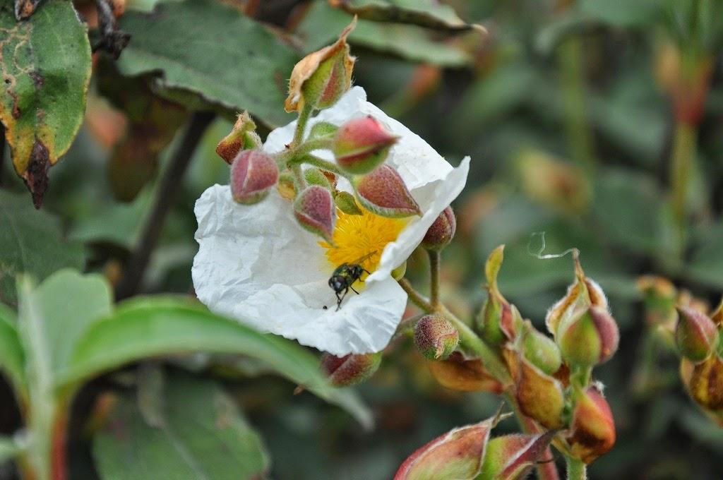 San Rafael con otra mirada |Flora|: JARA PRINGOSA - CISTUS LADANIFER