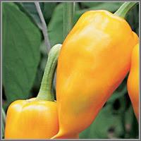 Сладкий перец сорт «Курьез»