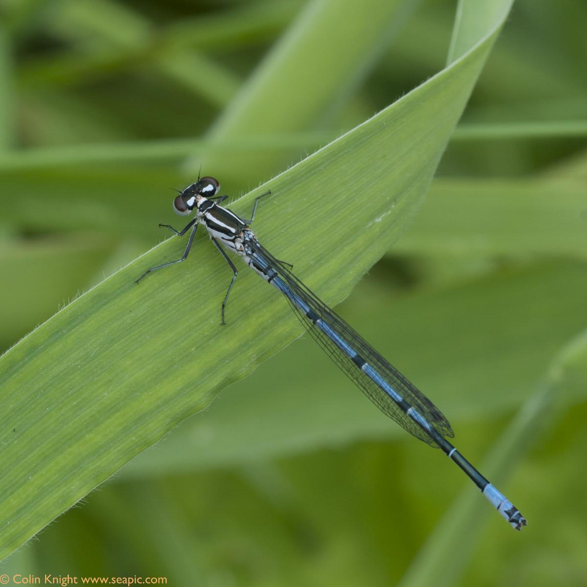 azure damsel flies fly - photo #18