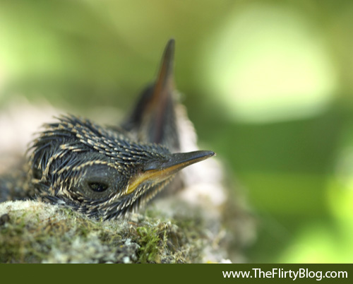 Hummingbird, Chick, Eyes Open