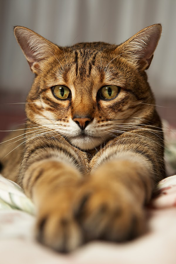 A Bengal Cats Personality Temperament and...