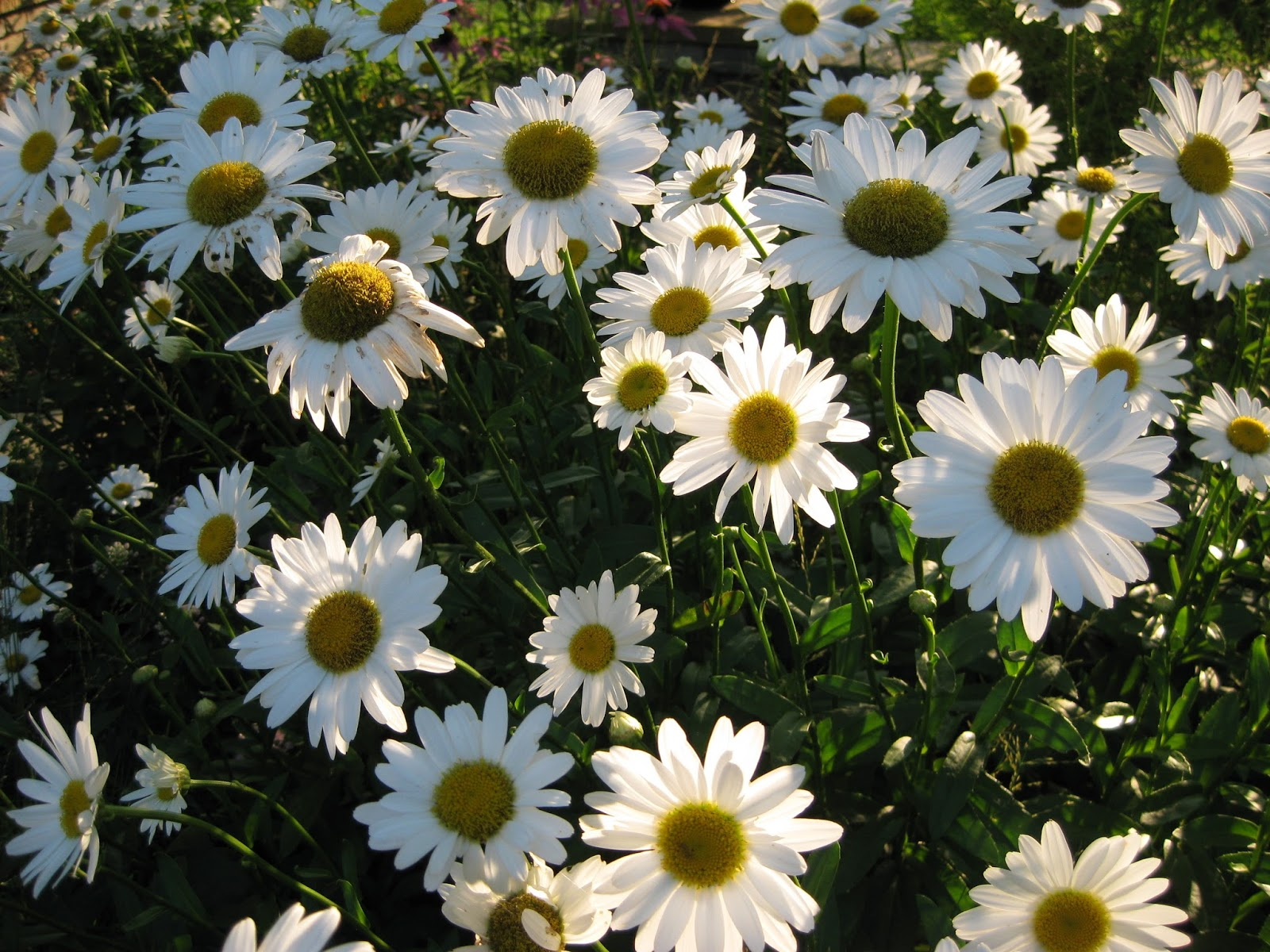 The shasta daisy leucanthemum rotary botanical gardens the holiday light show hls ran well last night and saw a moderate crowd for attendance izmirmasajfo
