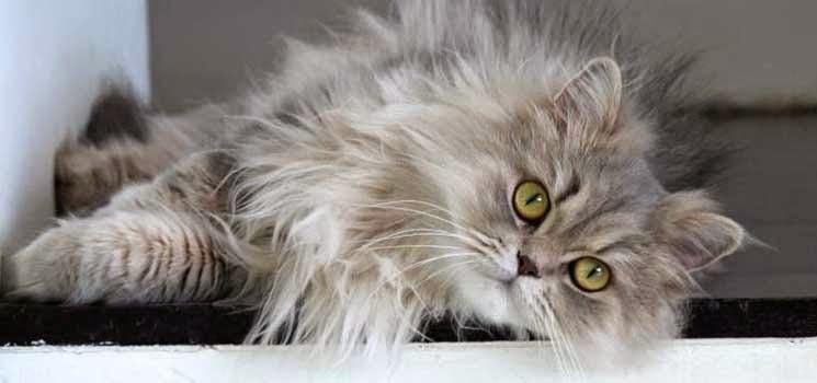 Kucing Parsi sedang berbaring