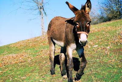 Burro en el rancho - Donkey