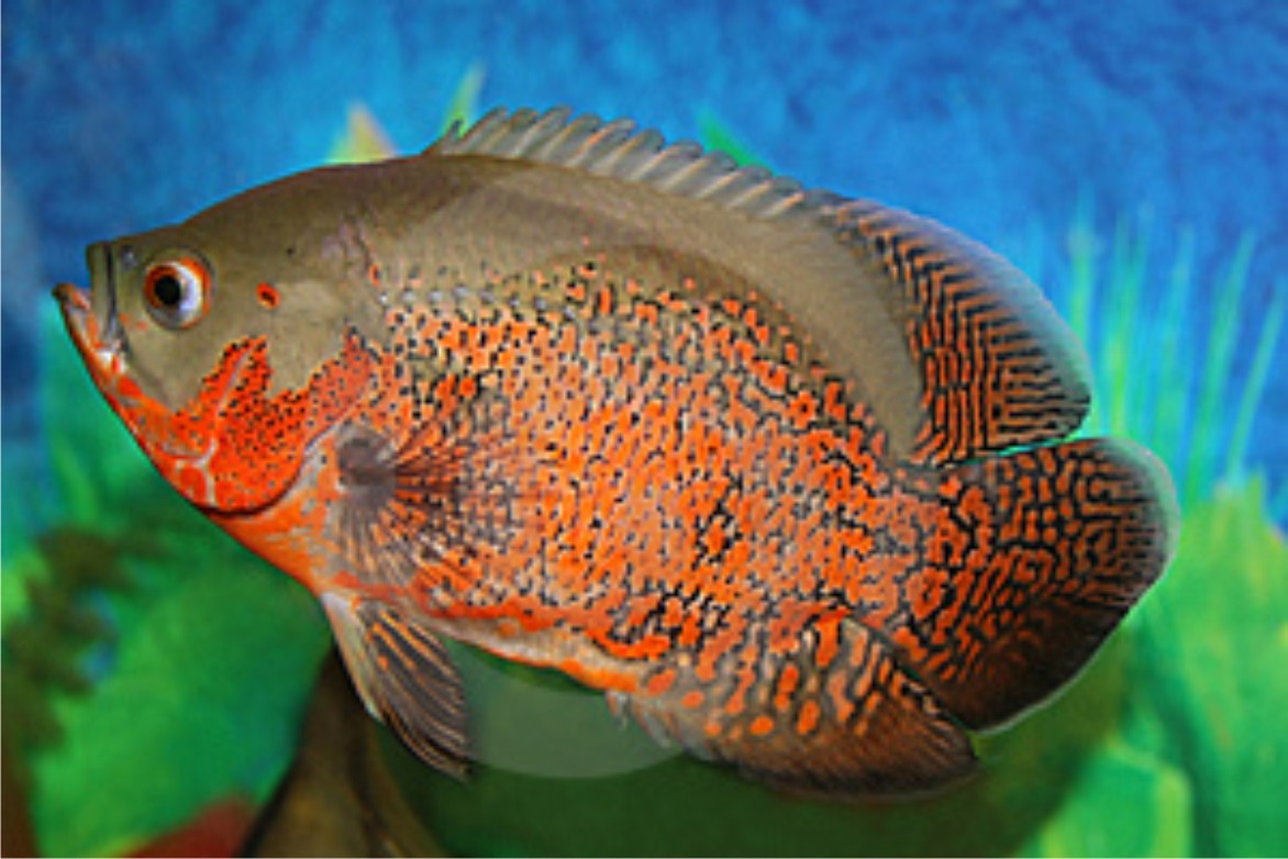 1p7bWKI 4c in addition Oscar Fish Breeding Behavior in addition Oscar Fish Breeding Behavior together with KmmGAlzfvv4 moreover  on oscar fish laying eggs and behavior
