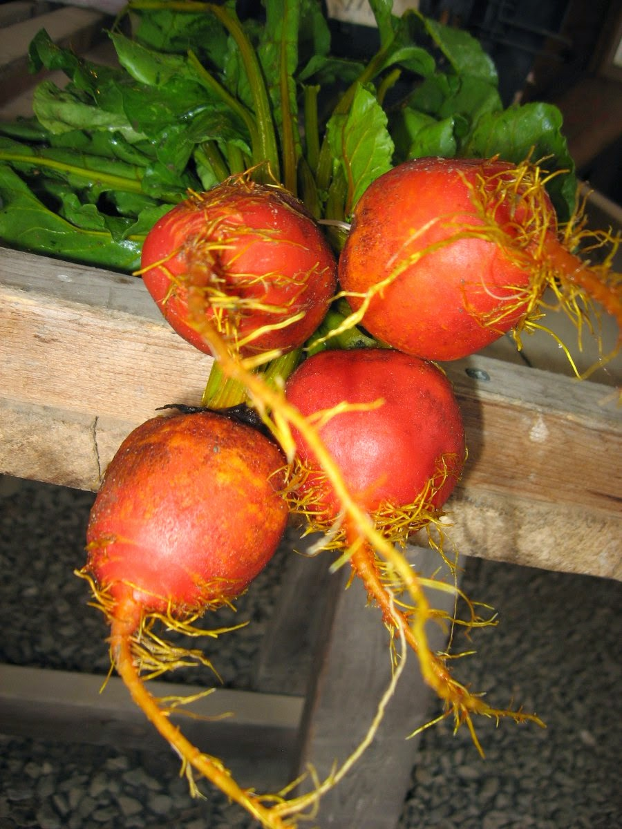 Beautiful Golden Beets