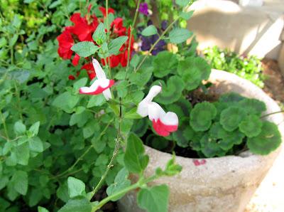 Annieinaustin geraniums with Hot Lips salvia