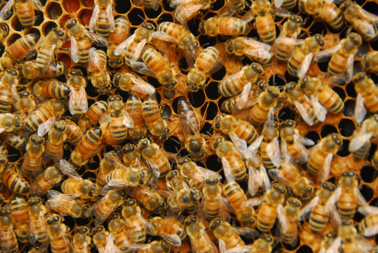 queen bee laying eggs - photo #21