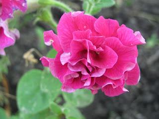 петуния, цветы, садовые цветы, цветы на даче, цветение круглый год, неприхотливые цветы,