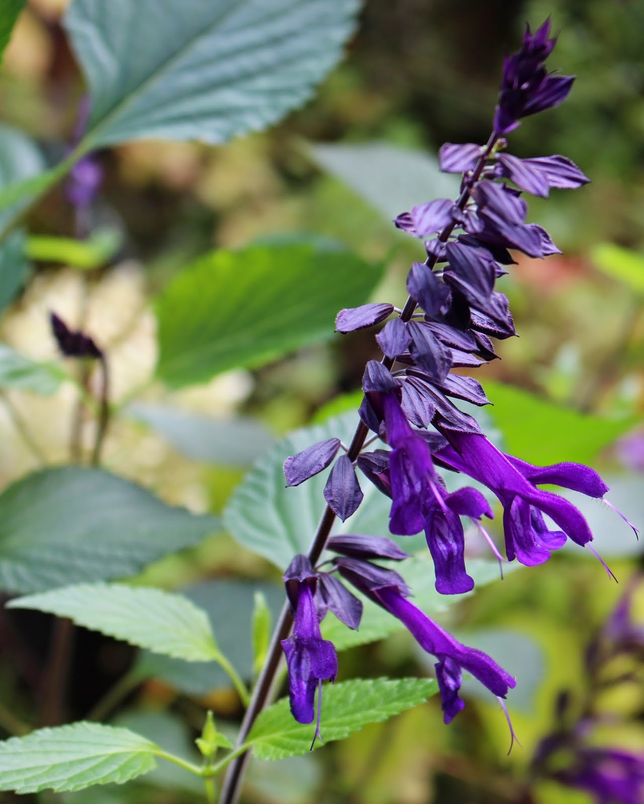 how to take cuttings of salvia amistad