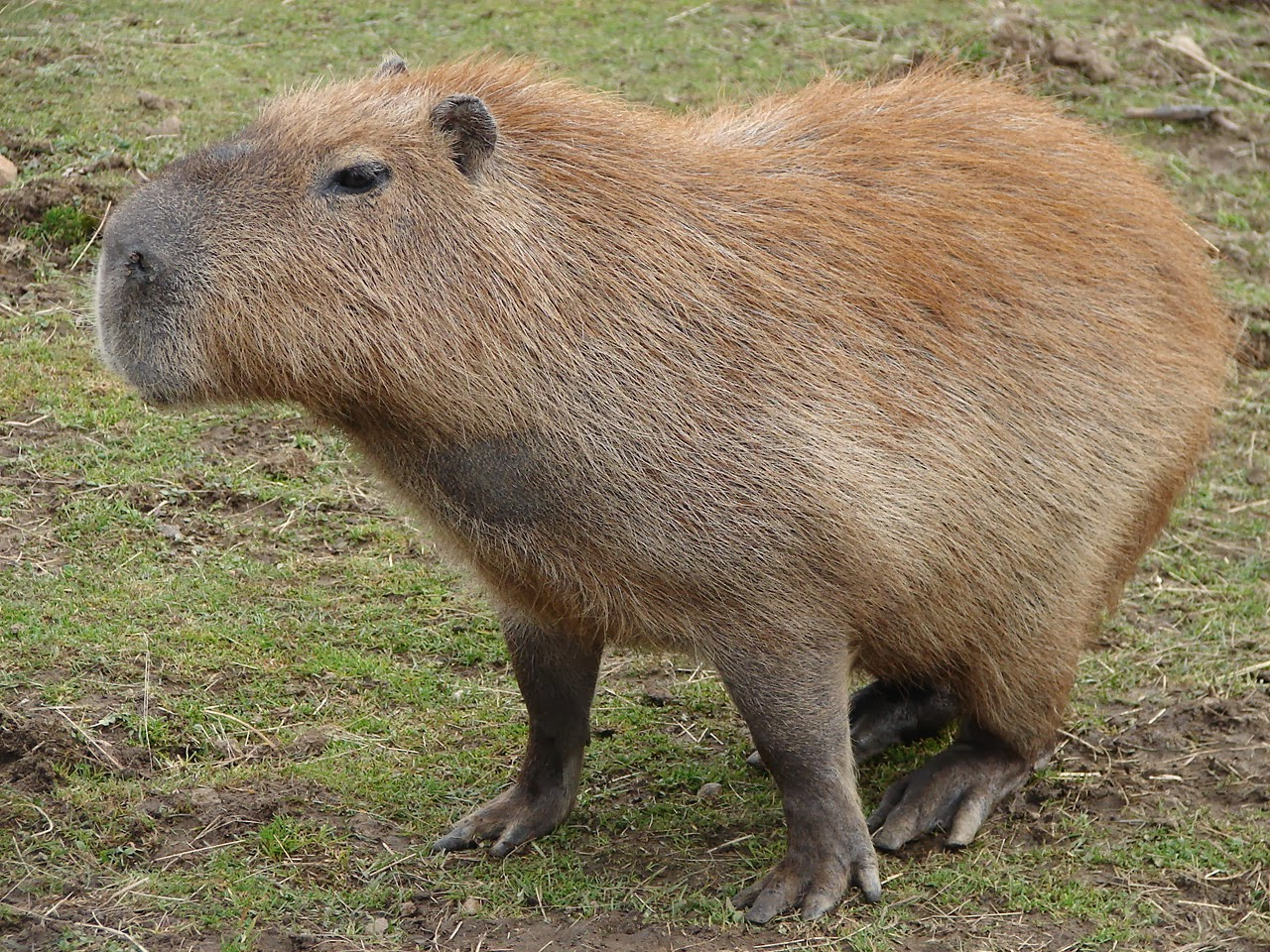 Capybara Animals | Amazing Facts & Latest Pictures | All Wildlife ...