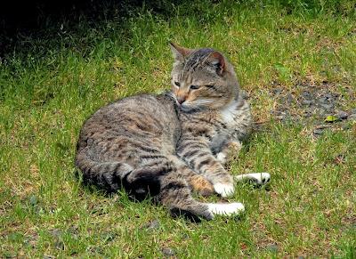 Tuxedo tabby half-tail feral cat, Mojo 2