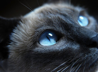 Gray Cat Blue Eyes HD Wallpaper
