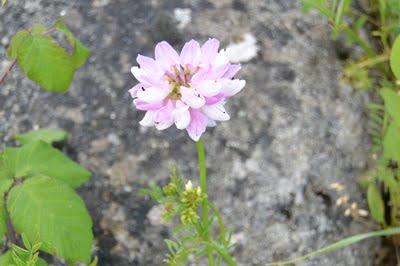 Coronilla varia (Cornetta ginestrina)