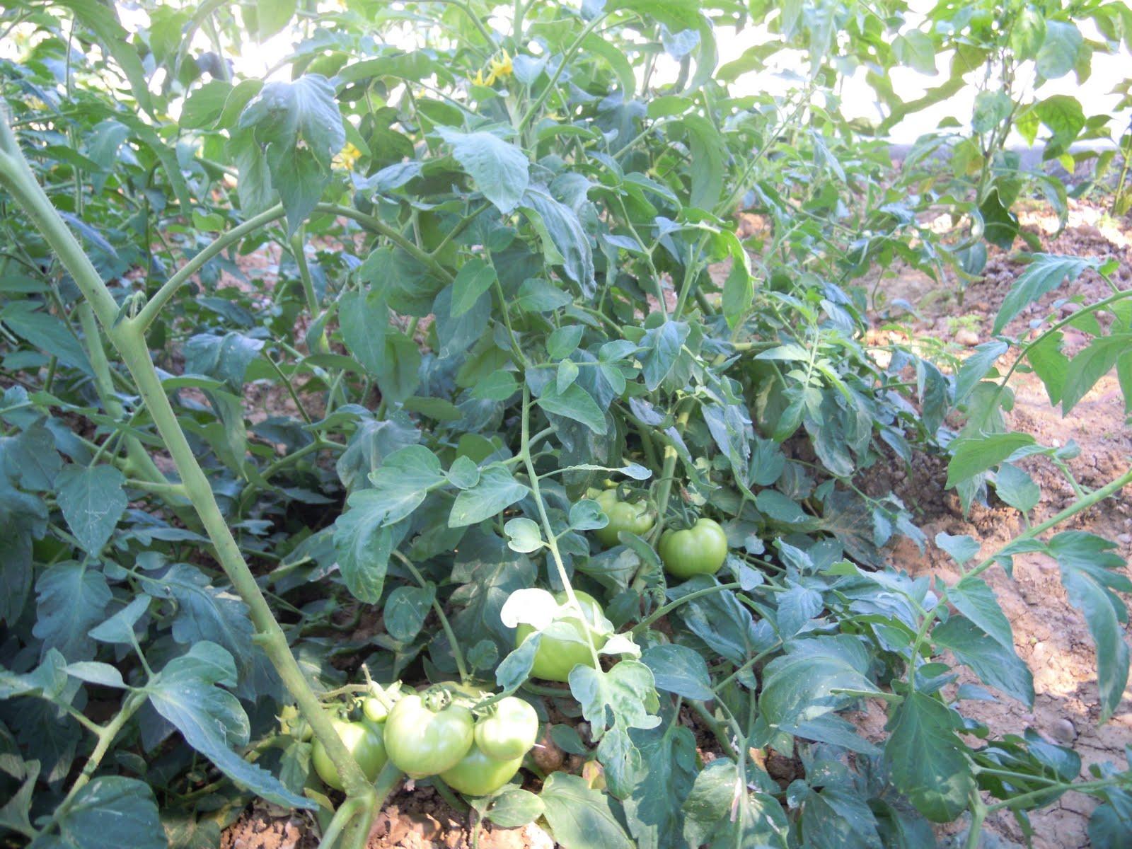 Asociaci n de mayores el tamujar silillos los tomates for Asociacion de plantas en el huerto