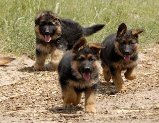 German Shepherd Puppy Picture