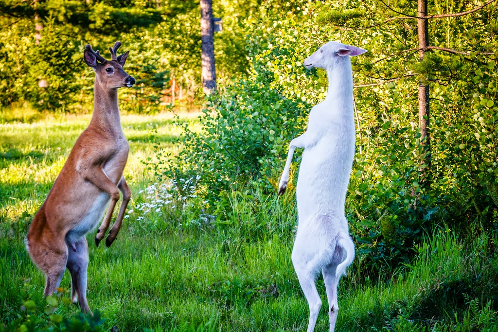 Biggest Albino Deer In The World Albino whitetail deer