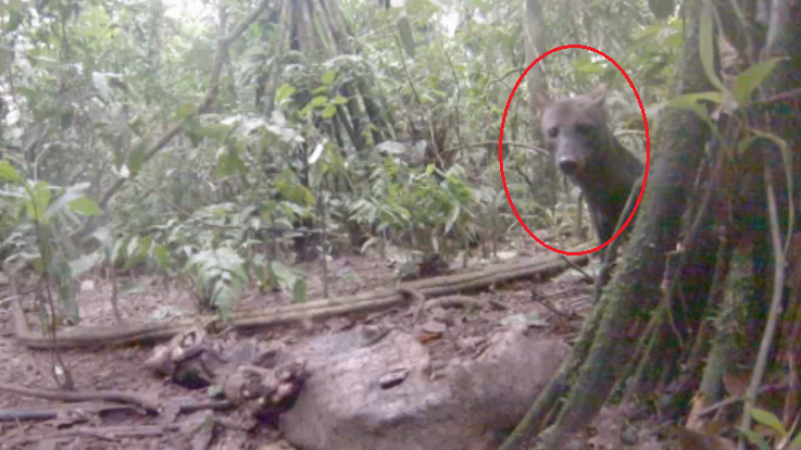 Rare And Elusive Short-Eared Amazon Jungle Dog Caught On Video