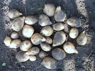 12 сентября, урожай с куста картофеля Адретта 3,2 кг