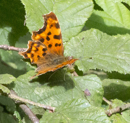 Comma, Polygonia c-album.  Jubilee Country Park, 18 July 2012.