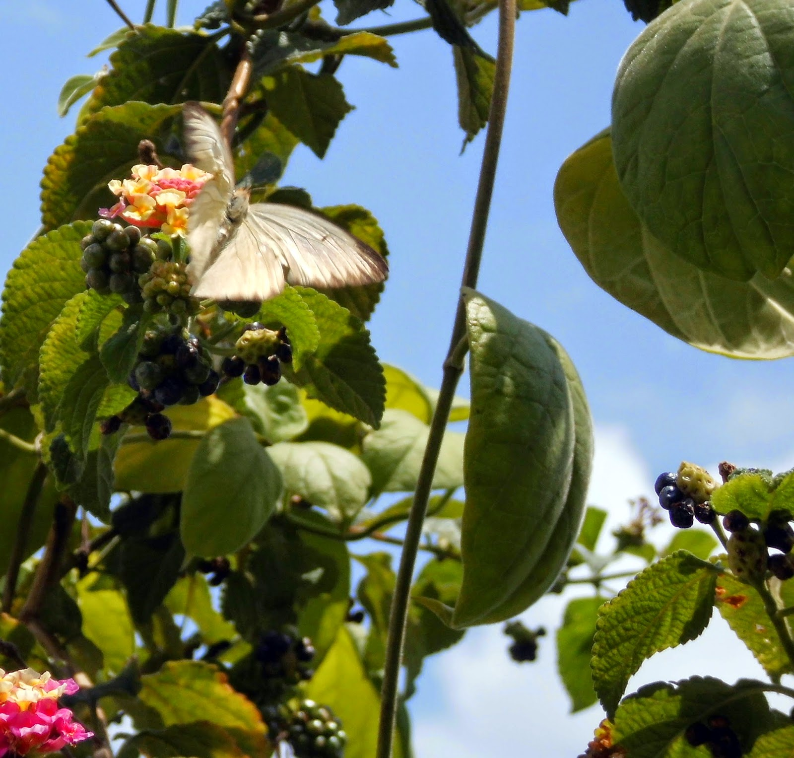 Mariposa blanca,mariposa volando, mariposa posada, mariposa en las flores