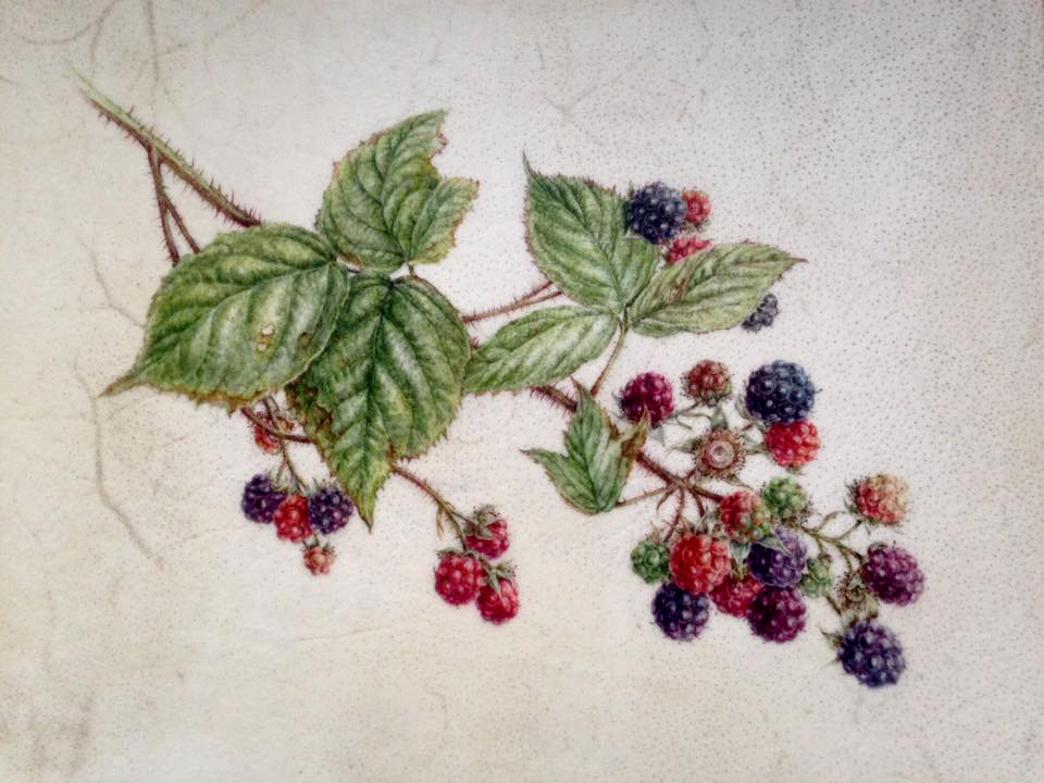 finished painting of blackberries on vellum