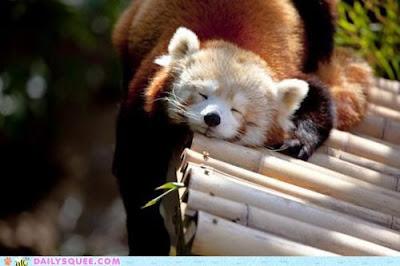 hình ảnh đáng yêu của gấu trúc đỏ, gấu trúc đỏ tinh nghịch, gấu trúc đỏ dễ thương, gấu trúc đỏ xinh đẹp,