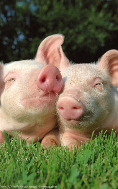 awesome pigs