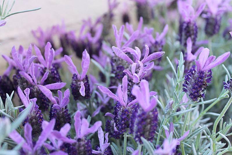 Corradot risotto d 39 alpeggio fontina e fiori di lavanda for Fiori di lavanda