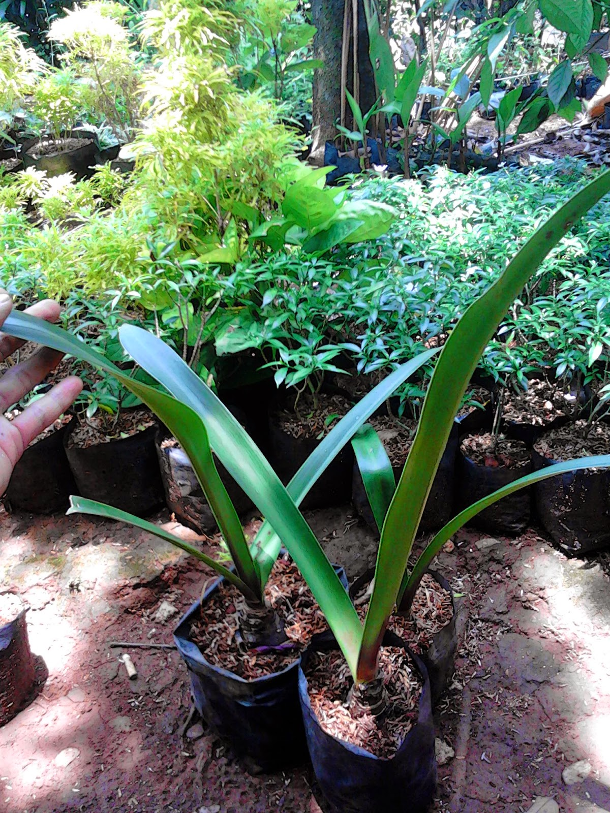 Jual pohon bakung sintung | bakung air mancur | bakung lele | suplier tanaman | tanaman hias | jasa desain taman