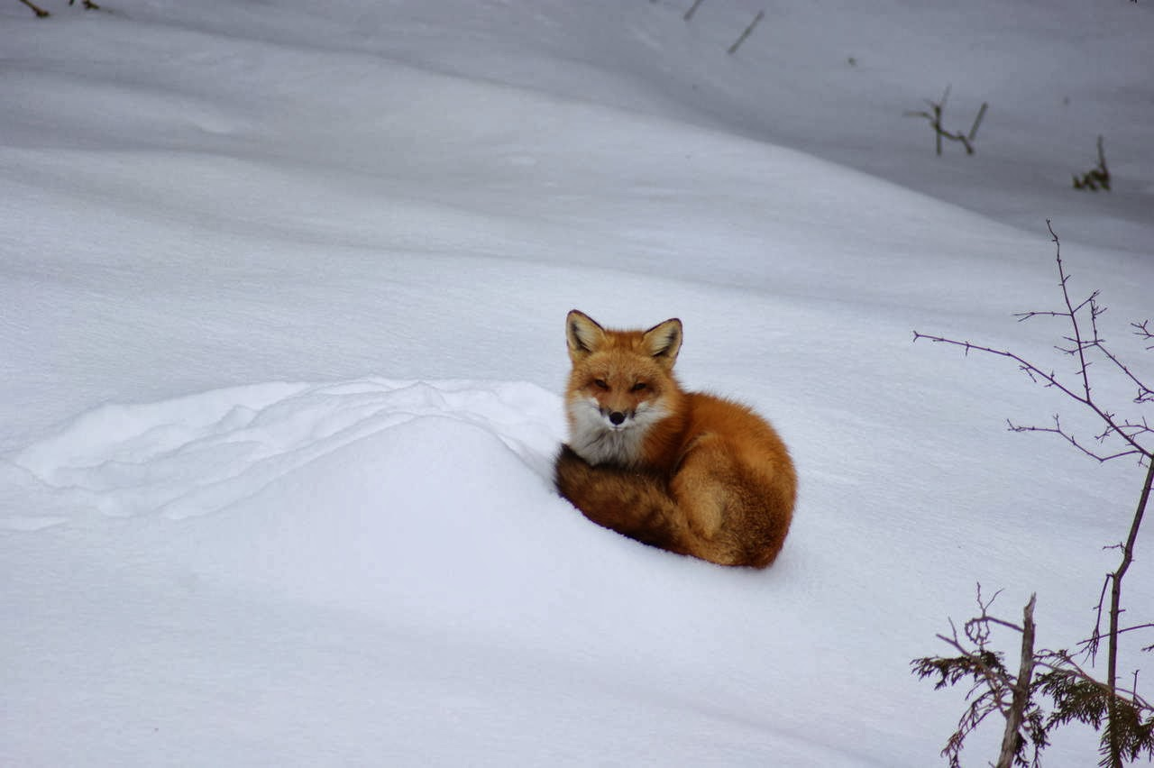 Funny animals of the week - 31 January 2014 (40 pics), fox in the snow