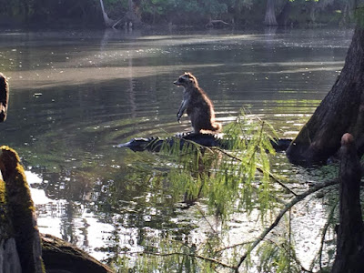 This amazing photo of a raccoon riding at the back of an alligator was captured by Richard Jones at Ocala National Forest
