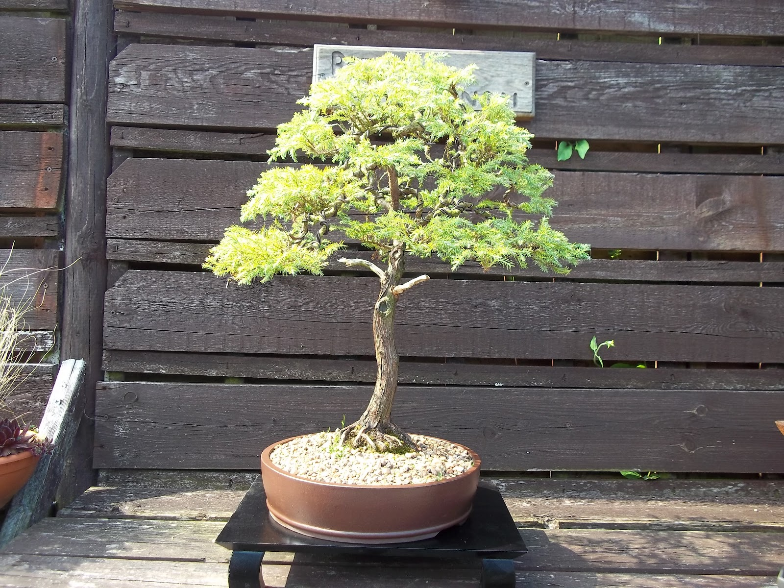 Ronin Bonsai Natter Night 28th May