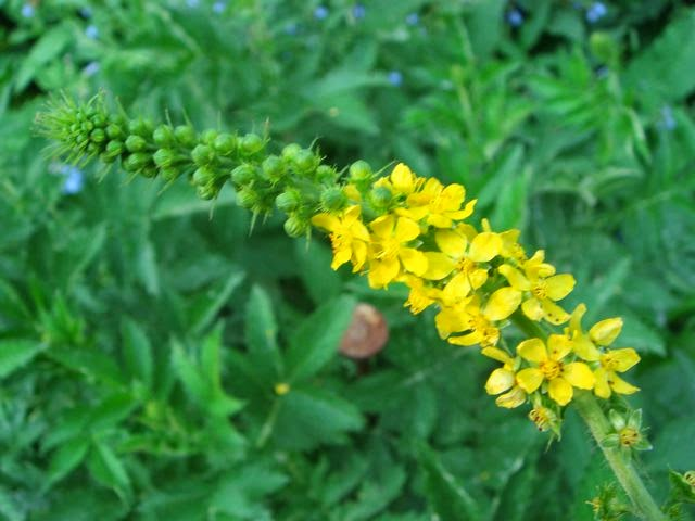 Benefits And Nutrition Of Agrimony Herb For Health