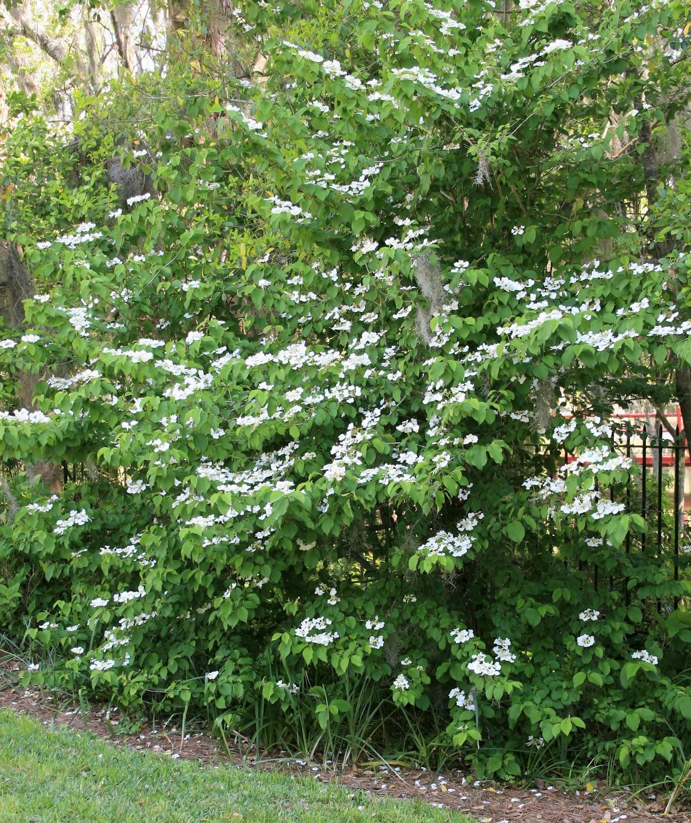 slides 19 20 doublefile viburnum v plicatum tomentosum usda hardiness zones 5 8