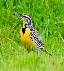 http://www.statesymbolsusa.org/Wyoming/bird_meadowlark.html