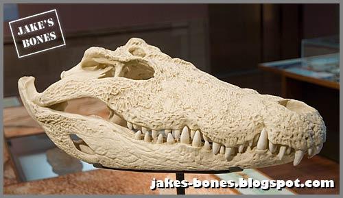 My crocodile and alligator skulls : Jake\'s Bones