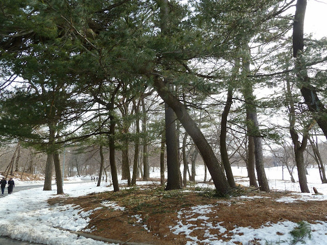 Pine grove in winter, Prospect Park