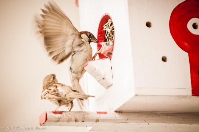 sparrow @ Bird house