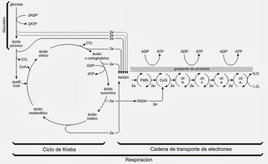 Ciclo De Krebs Visin General Regulacin Otros Aspectos Nivel