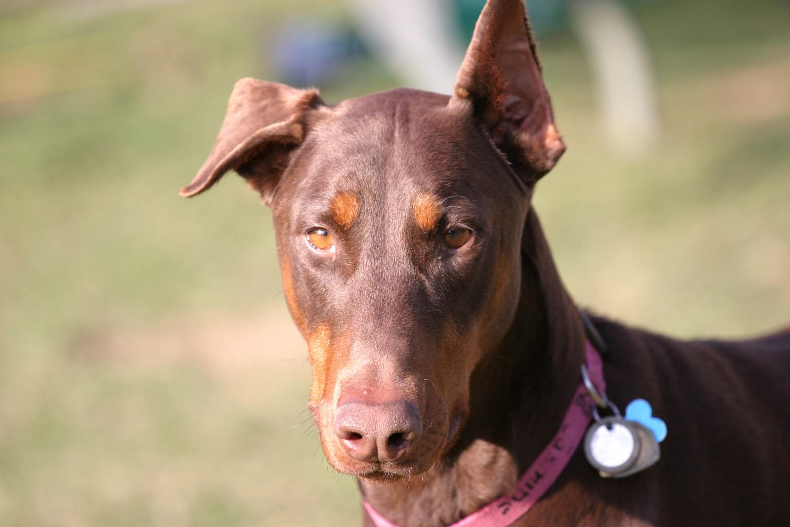 Meet Jasmine Doberman Rescue Minnesota Dog Rescue