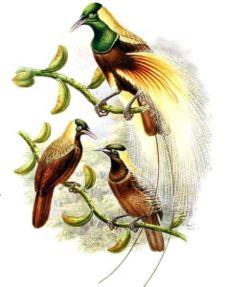 Cenderawasih kaisar, Paradisaea guilielmi