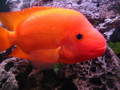 The wonders of the world 7 animals nicknamed the devil for Red devil fish for sale