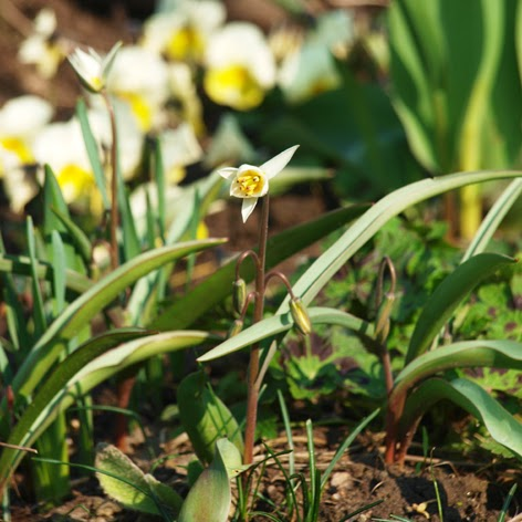 Blomster i hvide og cremede farver. Botanisk tulipan, Tulipa turkestanica og hornvioler
