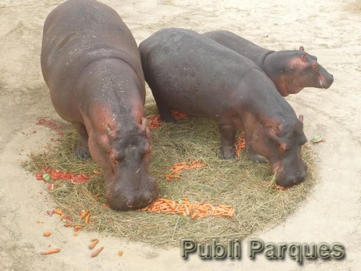 hipopótamo Hippopotamus amphibius