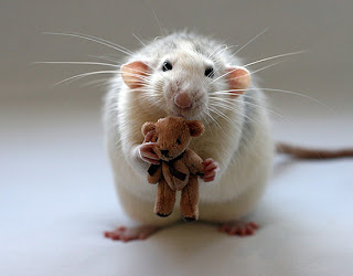 baby animal rat playing with doll bear
