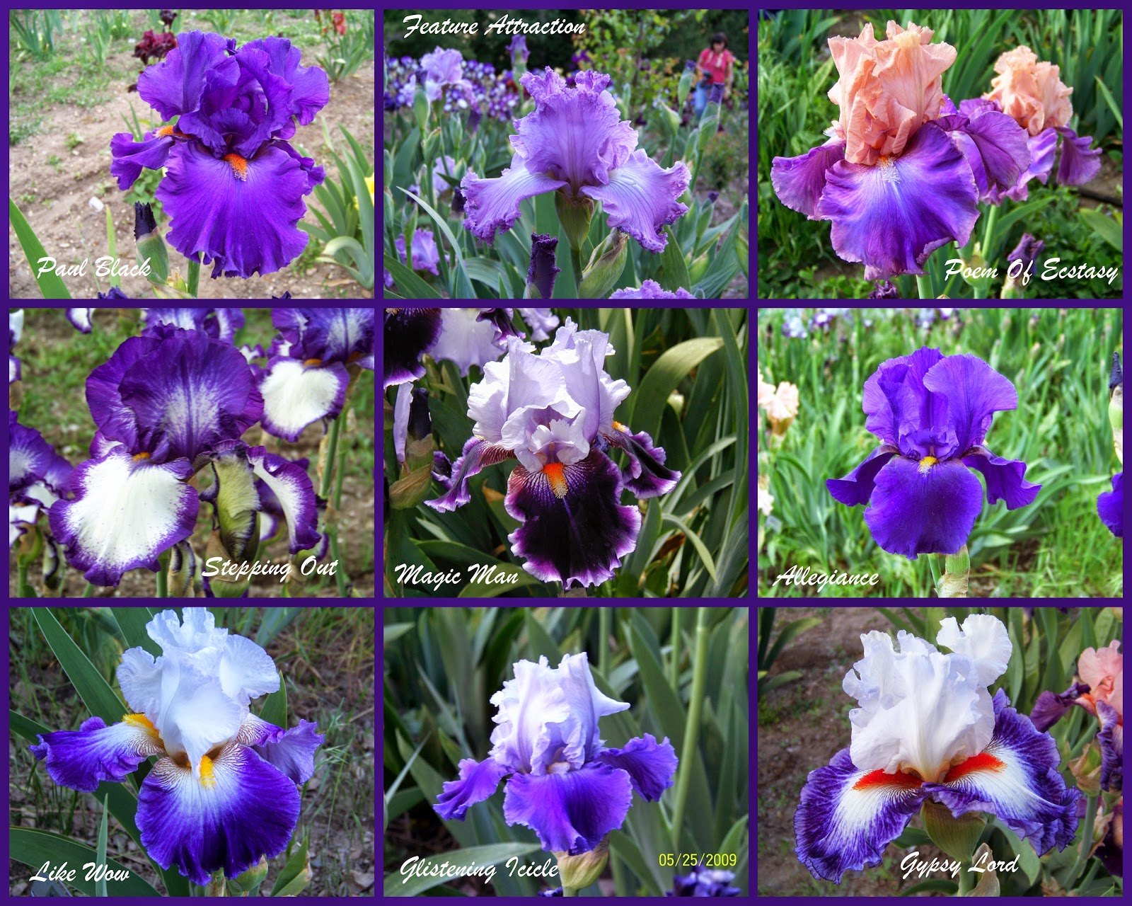 World of irises tall bearded iris my favorite purples part one feature attraction schreiner 1994 winner of the 1994 presidents cup at the american iris society national convention in portland oregon izmirmasajfo