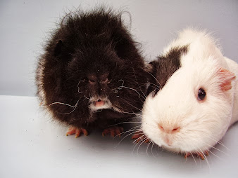 #11 Guinea Pigs Wallpaper