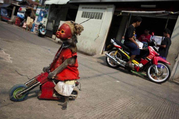 http://2.bp.blogspot.com/-8HBoBz4ARGg/Te5-OljbliI/AAAAAAACLGw/fopKoeqzIsU/s1600/performing_monkeys_07.jpg